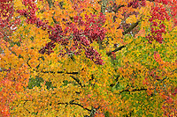 Sweet Gum tree in autumn, Washington