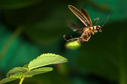 1C24-500z  Firefly flying with light - Photuris spp.