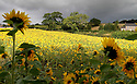 18/09/12 ..With temperatures set to fall, marking the end of summer, insects gorge themselves on nectar as the sun briefly illuminates a field of late flowering sunflowers near Matlock, Derbyshire...All Rights Reserved - F Stop Press.  www.fstoppress.com. Tel: +44 (0)1335 300098.Copyrighted Image. Fees charged will reflect previously agreed terms or space rates for individual publications, states or country.