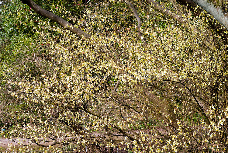 Corylopsis pauciflora in spring flowers