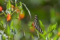 Heliconius charitonius butterfly, Cost Rica, Central America.