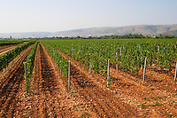 The vineyard with vines on the plain near Mostar with the mountain range in the background. Vranac grape variety. Typical red reddish clay sand sandy soil mixed with pebbles rocks stones in varying amount. Vineyard on the plain near Mostar city. Hercegovina Vino, Mostar. Federation Bosne i Hercegovine. Bosnia Herzegovina, Europe.