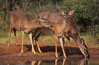 625358090 three wild whitetail deer odocoileus virginianus drink at a water hole in the lower rio grande valley of south texas united states