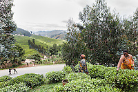 Madalina cultivates tea on a bit of hill side land in the shadow of a large tea plantation in Nyabihu, Rwanda.  &quot;This used to be a place where people came to buy beer from our small shop. <br /> Then we grew potatoes here. <br /> I planted the tea five years ago.<br />  Now the factory vehicles come to buy the tea from me at collection point.<br /> With the tea we make money- if I weren&rsquo;t sick I would grow even more.<br /> I broke my arm and since I couldn&rsquo;t afford the 3,000 francs ($4.50) needed for local insurance I went to a traditional healer. I&rsquo;d go in the morning and he&rsquo;d just talk to my shadow and in the evening I&rsquo;d feel it like a massage.<br />  And now I am ok. I can&rsquo;t say I am really working because I only use one hand. But better to move than die.<br /> Things are changing now.<br /> When we were young  we sat  by the fire at night and talked to each other and told stories and shared knowledge. But today the kids are no longer staying home. They like to move. They go into the centers and watch films and TV. They don&rsquo;t like to stay with parents and share wisdom.&quot; Photo by Brendan Bannon. Nyabihu, Rwanda. March 5, 2014