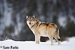 Wild Wolves of Yellowstone