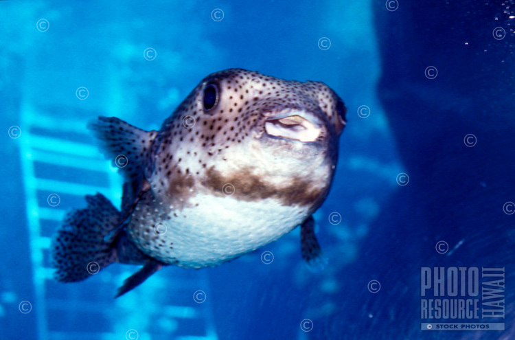 Smiling spotted pufferfish at Sea Life Park aquarium, Windward Oahu