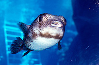 Smiling spotted pufferfish at Sea Life Park aquarium, Windward Oahu