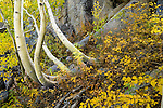 An image of dancing autumn yellow aspen trees in near Bishop Creek in the Sierra mountains of California