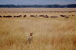 Cheetah casing wildebeest and zebra herds, Maasai Mara National Reserve, Kenya