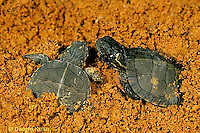 1R13-083z  Painted Turtle - young emerging from nest in sand - Chrysemys picta