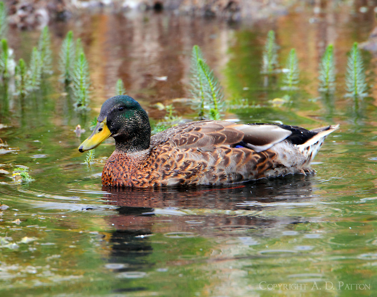 Adult male mallard in non-breeding plumage