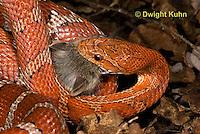 1R22-631z  Corn Snake, Banded Corn Snake, Elaphe guttata guttata or Pantherophis guttata guttata, catching and eating mouse