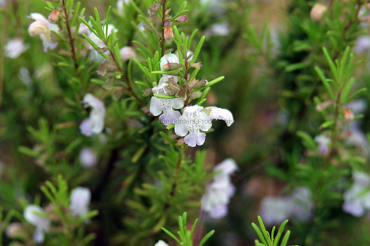 Apalachicola rosemary is an endangered plant species that is found only in the sand hills along the Apalachicola River.