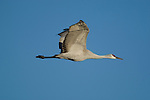 A Sandhill Crane in flight with blue sky in background Bosque del Apache National Wildlife Refuge, New Mexico, December 18, 2007.  Photo by Gus Curtis