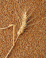 Agriculture - Wheat kernels and wheat stock.
