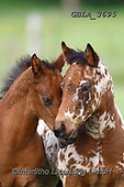 Bob, ANIMALS, REALISTISCHE TIERE, ANIMALES REALISTICOS, horses, photos+++++,GBLA3695,#a#, EVERYDAY
