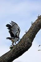 Carajas_PA, Brasil...Floresta Nacional de Carajas. Harpia (Harpya harpyja)  na floresta amazonica, Para...Harpy (Harpy harpyja) in brazilian walnut (Bertholletia excelsa) in the Amazon forest in the Floresta Nacional de Carajas, Para...Foto: JOAO MARCOS ROSA / NITRO .