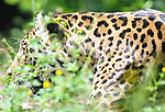 08.06.2011,Tiergarten Schoennbrunn, Wien, AUT, Chronik, im Bild Leopard // chronicle, AUT, Vienna, zoological garden Schoennbrunn, 2011-08-06, EXPA Pictures © 2011, PhotoCredit: EXPA/ M. Gruber