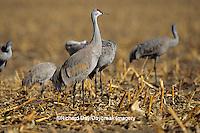 00882-02313 Sandhill Cranes (Grus candensis) feeding in corn field near Kearney   NE