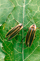 FIREFLIES (LIGHTNING BUGS).Photinus Pyralis. On Leaf. Not glowing..A firefly flashes when O2, breathed in through the abdominal tracheae, combines with the substance luciferin under the catalytic effect of the enzyme luciferase. The light is 90-98% efficient.