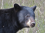 A black bear (Ursus americanus) feeds on spring vegetation in an effort to replace weight lost in winter hibernation.