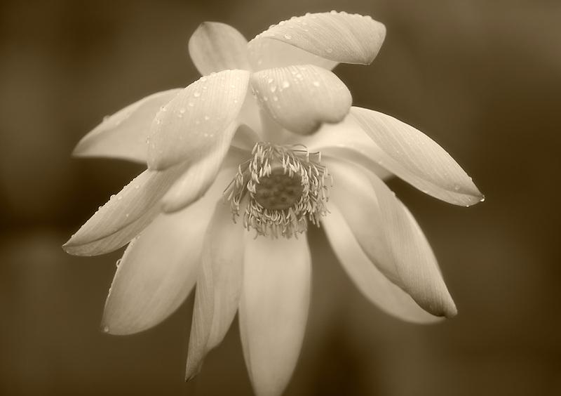 Close up of lotus blossom with rain drops. Kauai, Hawaii
