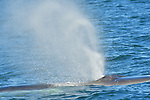 A finback whale ejects water at Jeffreys Ledge, near Rye, New Hampshire.