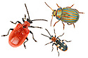 Three beetle species found in gardens in the UK that are often regarded as pests: Lily Beetle (Lilioceris lilii), Rosemary Beetle {Chrysolina americana} and the Asparagus Beetle (Crioceris asparagi). Photographed on a white background. Digital composite image. UK.