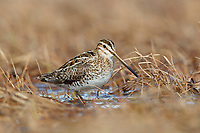 Common Snipe (Gallinago gallinago) in a tundra wetland. Chukotka, Russia. June.