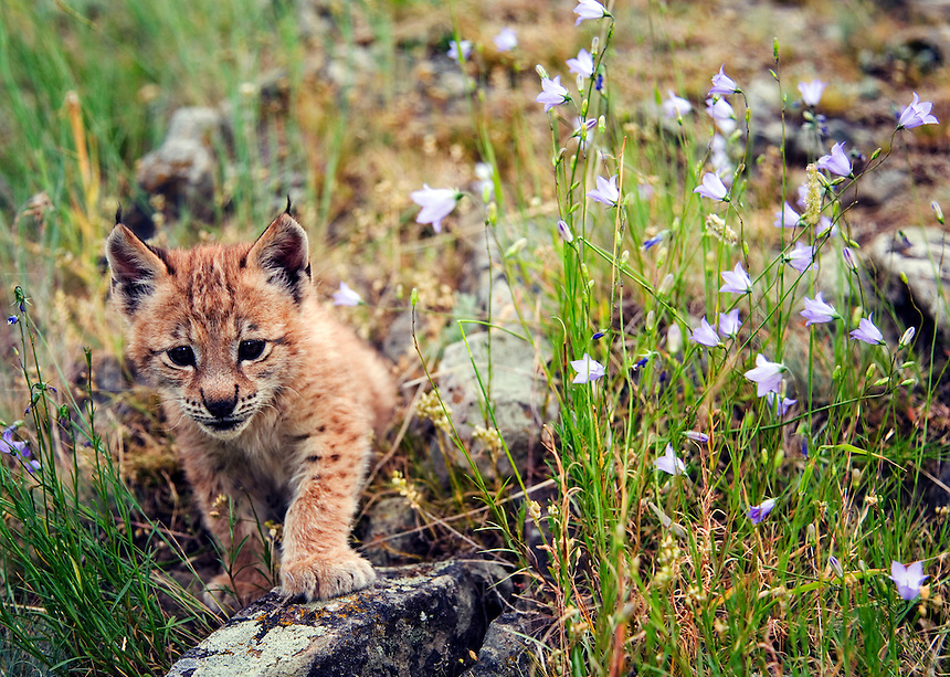 Lynx kitten exploring, with bluebells