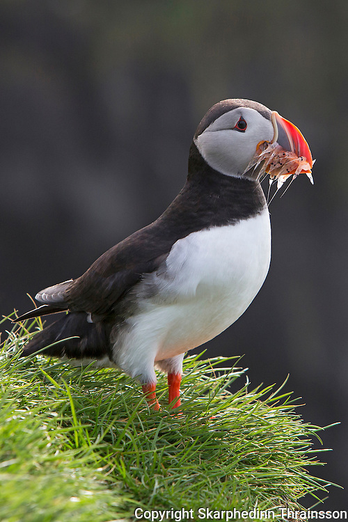 Puffin with a catch