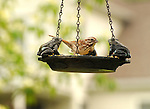 Bird on open feeder with frogs. English sparrow
