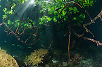 Sunlight streaming into shallow waters with mangroves and seagrass, Yangeffo, Gam Island, Waigeo, Raja Ampat, Indonesia, Pacific Ocean