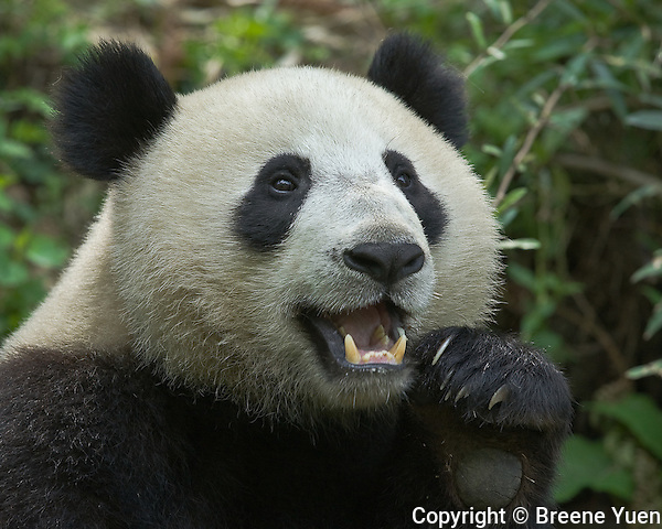 Panda portrait at the Panda Valley Research Center, Wolong, Sichuan, China, May 2007