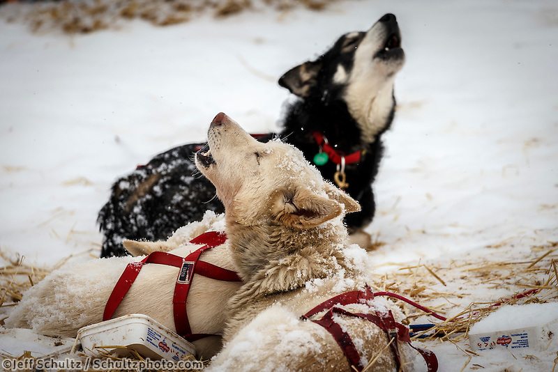 Iditarod dogs howl at Takotna during their 24-hour layover during Iditarod 2016.  Alaska.  March 09, 2016.  <br /> <br /> Photo by Jeff Schultz (C) 2016  ALL RIGHTS RESERVED