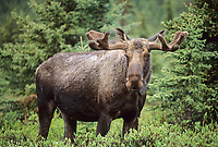 Bull moose in boreal forest, new antler growth, velvet covered antlers, spring, Denali National Park, Alaska