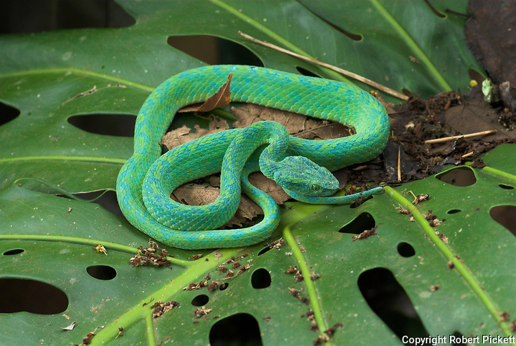 Honduran Palm Pit Viper Snake, Bothriechis marchi, Green and relatively slender with a prehensile tail, Honduras and eastern Guatemala, venemous, coiled on leaf