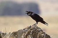 Kolkrabe, rufend, Kolk-Rabe, Rabe, Corvus corax, common raven