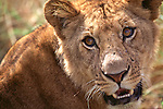 Lion face close up
