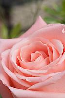 Rosa, coral pink, closeup of petals