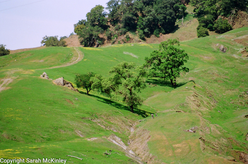 Youngish oak trees and on an open expanse of a hill in southern Mendocino County in Northern California.