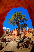 douglas-fir tree, Pseudotsuga menziesii, from Peek a boo loop, Bryce Canyon National Park, Utah, USA