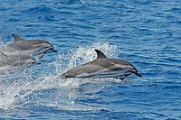3 Striped Dolphins, Stenella coeruleoalba, breaching, Azores, Atlantic Ocean