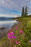 Fireweed blossoms along the shore of Wonder Lake with Mt. Denali, North America's tallest Peak i the distance, Denali National Park, Alaska.