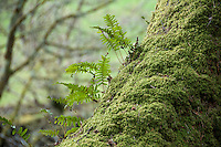Fern growing out of moss on a tree at Inverary Castle, Argyll and Bute, Scotland.
