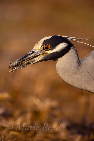Yellow-crowned Night Heron (Nyctanassa violacea), with a crab in its bill, Ding Darling National Wildlife Refuge, Florida, USA