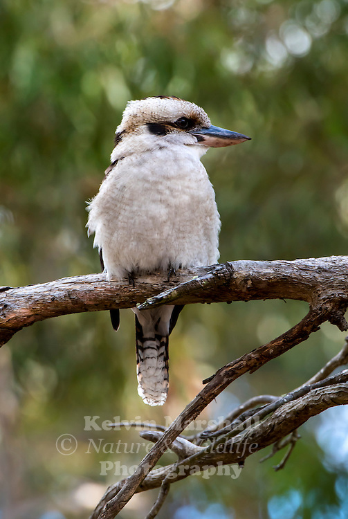 The Laughing Kookaburra, Dacelo novaeguineae, is a carnivorous bird in the Kingfisher family. Native to eastern Australia, it has been introduced to southwestern Australia. Male and female adults are similar in plumage, which is predominantly brown and white. A common and familiar bird, this species of kookaburra is well known for its laughing call.