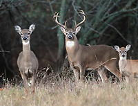 Courtesy photo/ARKANSAS GAME AND FISH COMMISSION<br />