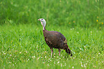 Hen wild turkey walking in a northern Wisconsin field.