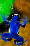 Captive Poison Arrow Frog. Range: Central and South America. Shot Canon EOS 630, Lens: Canon 100mm macro, Flash: 540 off camera, Film: Velvia 50 rated at ISO 40, handheld at Santa Barbara Zoo, California
